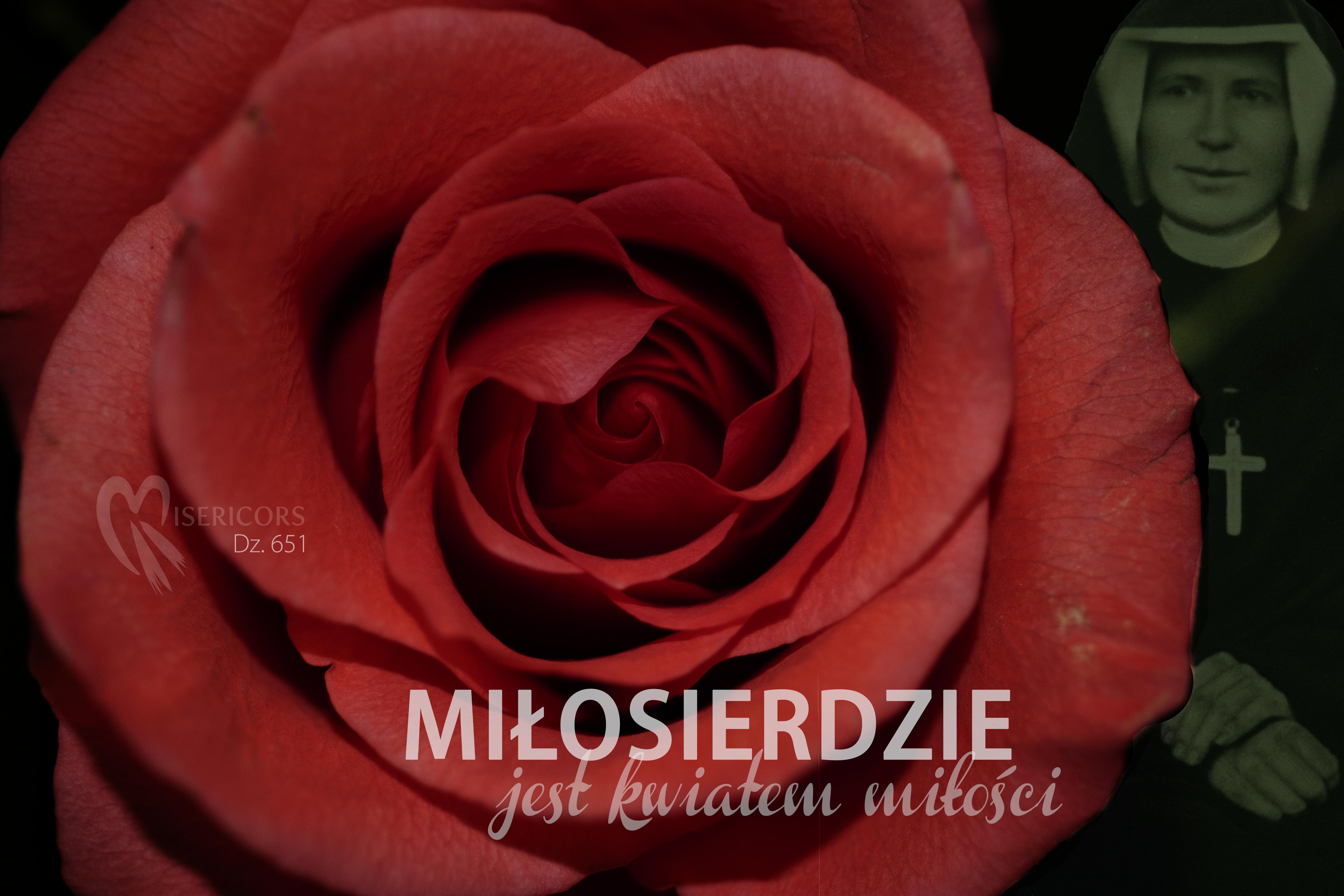 róża miłosierdzie kwiatem