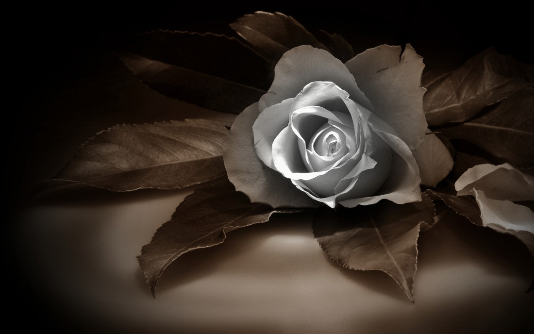 róża-pogrzeb